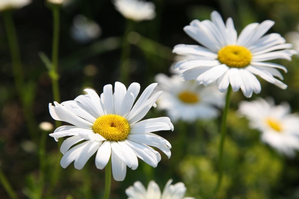 Die 10 schönsten Blütenstauden im Juni.